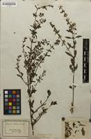 Filed as Scoparia dulcis L. [family SCROPHULARIACEAE]