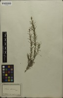 Isolectotype of Acacia laricina Meisn. [family MIMOSACEAE]