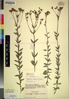 Isotype of Ageratinastrum palustre Wild & G.V.Pope [family COMPOSITAE]