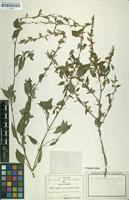 Isotype of Cuphea viscosa Rose [family LYTHRACEAE]