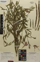 Isotype of Oenothera stricta subsp. altissima W.Dietr. [family ONAGRACEAE]