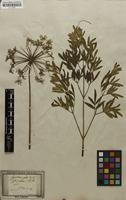 Filed as Laserpitium siler L. [family APIACEAE]