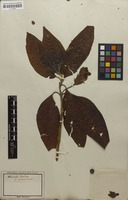 Filed as Justicia adhatoda L. [family ACANTHACEAE]