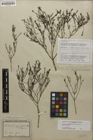 Holotype of Declieuxia spergulifolia Mart. & Zucc. ex Schult. & Schult.f. [family RUBIACEAE]