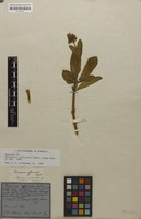 Holotype of Palicourea officinalis Mart. [family RUBIACEAE]