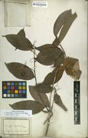Filed as Corynostylis arborea (L.) S.F.Blake [family VIOLACEAE]