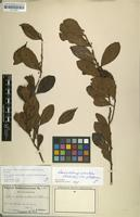 Isotype of Scolopia austro-caledonica Schltr. [family FLACOURTIACEAE]