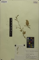 Paratype of Acacia robynsiana Merxm. & A.Schreib. [family MIMOSACEAE]