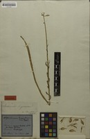 Holotype of Alstroemeria longistaminea Mart. ex Schult. & Schult.f [family ALSTROEMERIACEAE]