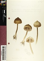 Entoloma vernum S. Lundell
