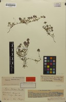 Holotype of Thymus x beckianus Ronniger ex Machule [family LAMIACEAE]