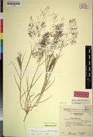 Isotype of Tricholaena monachne J.G. Anderson var. annua [family GRAMINEAE]