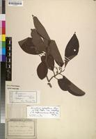 Isotype of Homalium hoffmannianum Baill. [family FLACOURTIACEAE]