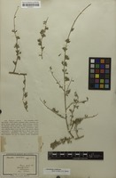 Isotype of Psoralea candicans Eckl. & Zeyh. [family FABACEAE]