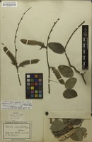Holotype of Dioclea lasiophylla Mart. ex Benth. [family FABACEAE]