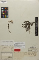 Holotype of Phacelia pubescens Peter; nom. illeg. [family HYDROPHYLLACEAE]
