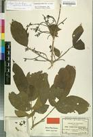Isotype of Combretum lepidotum A. Rich. [family COMBRETACEAE]