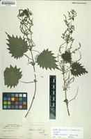 Lectotype of Urtica thunbergiana Siebold & Zucc. [family URTICACEAE]