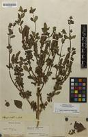 Filed as Achetaria ocymoides (Cham. & Schltdl.) Wettst. [family SCROPHULARIACEAE]