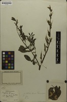 Isosyntype of Thermopsis chinensis Benth. ex S.Moore [family FABACEAE]