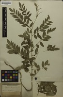 Filed as Sophora flavescens Aiton [family FABACEAE]
