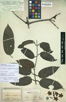 Isotype of Anthodon grandiflorus Benth. [family HIPPOCRATEACEAE]