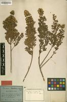 Isotype of Baccharis xerophila Mart. [family ASTERACEAE]