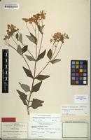 Isotype of Montanoa tehuacana B.L.Rob. [family ASTERACEAE]