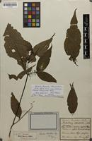 Holotype of Spennera chaetodon DC. [family MELASTOMATACEAE]