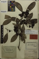 Syntype of Guioa glauca f. dendroides Radlk. [family SAPINDACEAE]