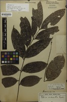 Isotype of Talisia micrantha Radlk. [family SAPINDACEAE]