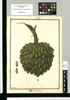 Annona parviflora / Ysidro Galvez. Original drawing from Ruiz & Pavón's Expedition (1777-1816)
