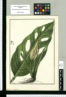 Pothos perforata / Galvez. Original drawing from Ruiz & Pavón's Expedition (1777-1816)