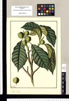 Ficus / Fran[cis]co Pulgar. Original drawing from Ruiz & Pavón's Expedition (1777-1816)