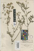 Original material of Parthenium hypterophorus L. [family COMPOSITAE]