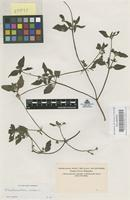 Original material of Eleutheranthera ruderalis [family COMPOSITAE]