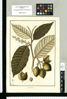 Myristica / Fran[cis]co Pulgar. Original drawing from Ruiz & Pavón's Expedition (1777-1816)