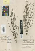 Original material of Aster spinosus Benth. [family COMPOSITAE]
