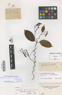 Original material of Pentalinon andrieuxii (Müll. Arg.)B.F. Hansen & Wunderlin [family APOCYNACEAE]