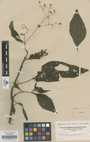 Original material of Ichthyothere scandens S.F. Blake [family COMPOSITAE]