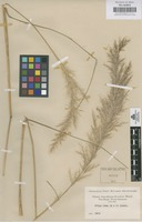 Original material of Stipa ichu (Ruiz & Pav.) Kunth [family GRAMINEAE]