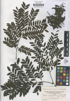 Filed as Zanthoxylum [family RUTACEAE]
