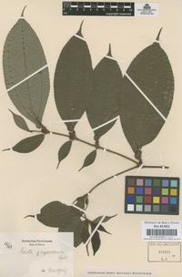 Original material of Maieta guianensis Aubl. not on sheet not on sheet [family MELASTOMATACEAE]