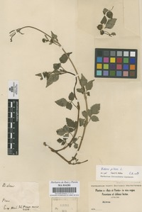 Original material of Bidens pilosa L. [family COMPOSITAE]