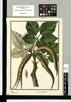 Bignonia lanuginosa; Tecoma / Galvez. Original drawing from Ruiz & Pavón's Expedition (1777-1816)