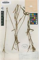 Type of Panicum montanum Roxb. var. merrilli Hack [family GRAMINEAE]
