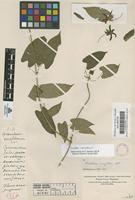 Filed as Gonolobus sp. [family ASCLEPIADACEAE]