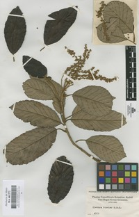 Original material of Clethra bicolor Kunth [family CLETHRACEAE]