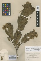 Original material of Ageratina baccharoides (Kunth) R.M. King & H. Rob. [family COMPOSITAE]