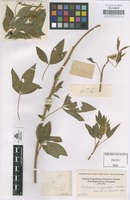 Original material of Crotalaria anagyroides Kunth [family LEGUMINOSAE-PAPILIONOIDEAE]